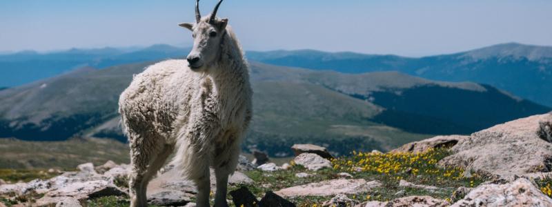 big horned sheep in colorado